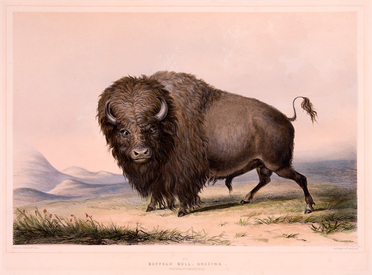 Buffalo-Bull,-Grazing_sized