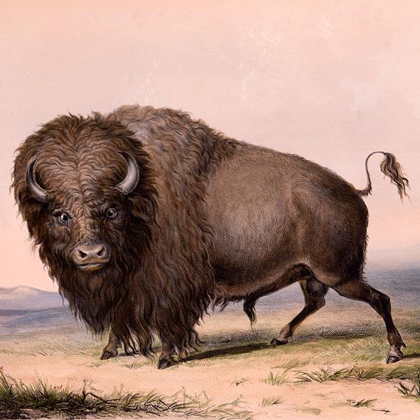 Buffalo-Bull,-Grazing_square